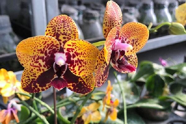 Анаконда - орхидея цветет