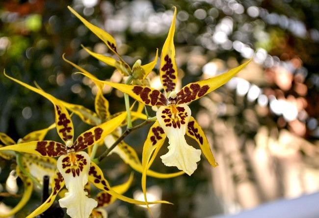 Орхидея Брассия фото и описание