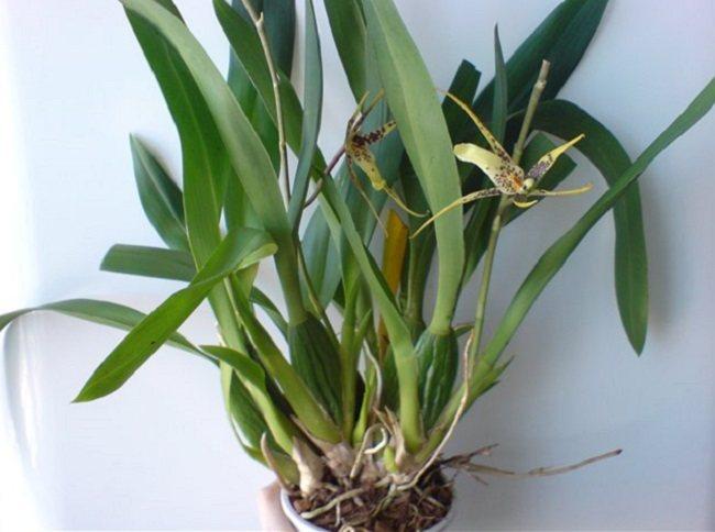 Луковицы орхидеи брассии