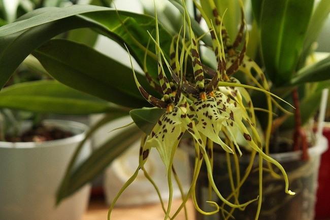 Орхидея брассия в горшке
