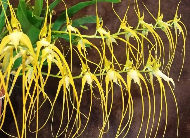 Брассия Хвостатая – Brassia Caudata
