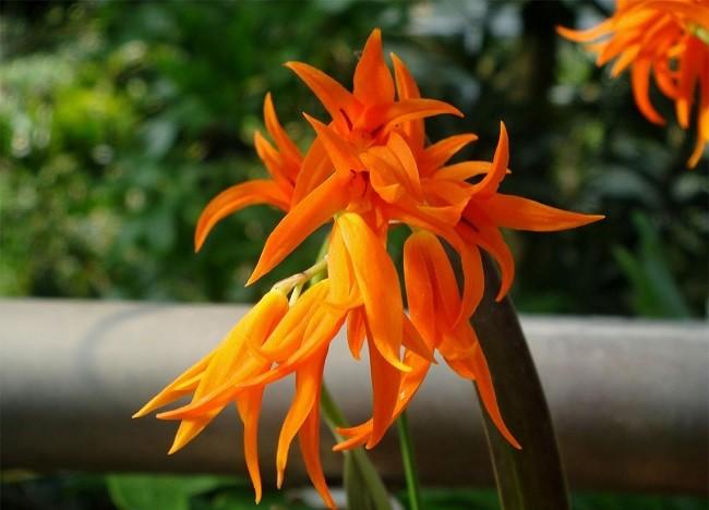 Брассия оранжевая – Brassia Aurantiaca