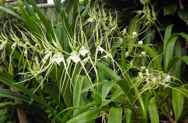 Брассия Дугоносая – Brassia Arcuigera