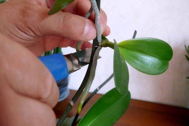 Как срезать отросток от орхидеи