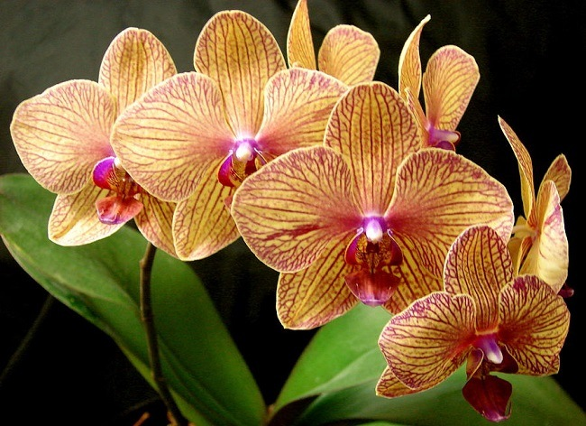 Фото орхидеи Калейдоскоп Балдана