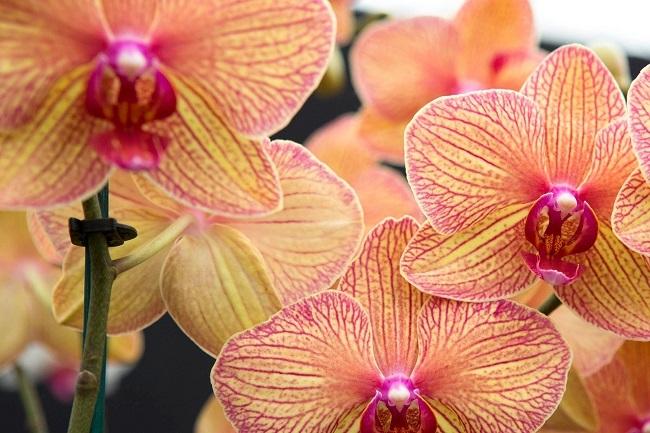 Пышное цветение калейдоскопа