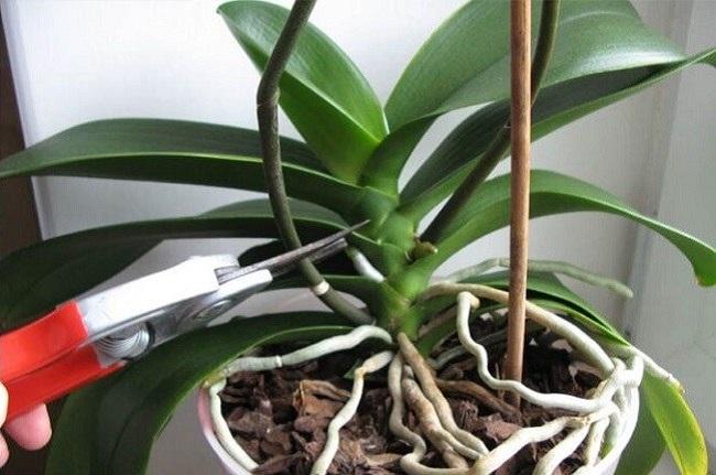Обрезкая цветоноса орхидеи