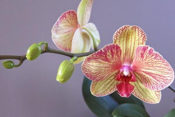 Цветки и бутоны фаленопсиса