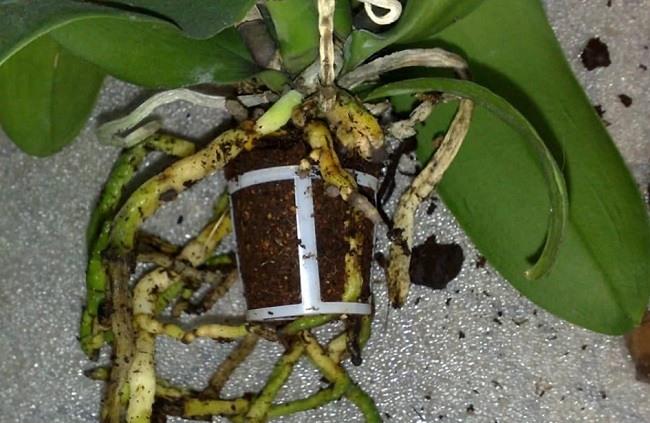 Торфяной стаканчик у орхидеи