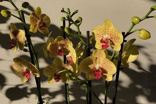 Цветоносы орхидеи Пульсация