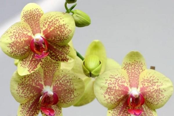 Каскадное цветение орхидеи