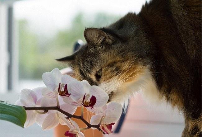 кот нюхает фаленопсис