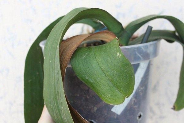 Трахеомикоз - увядание листьев