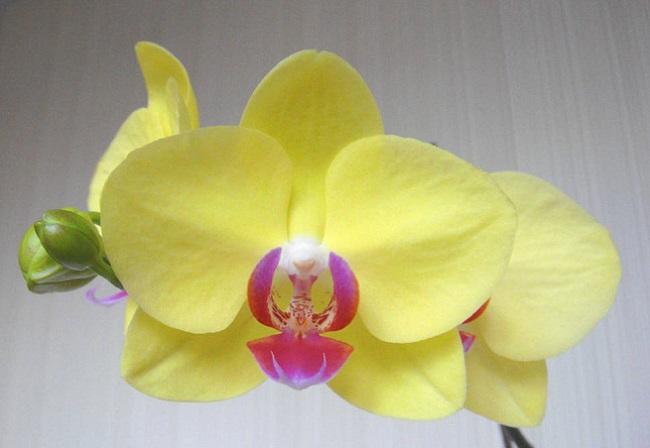 Phalaenopsis Yellow Pearl