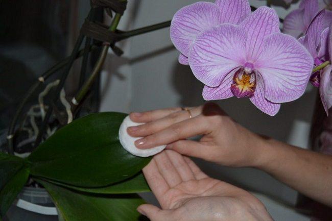 Протирание листьев орхидеи янтарной кислотой