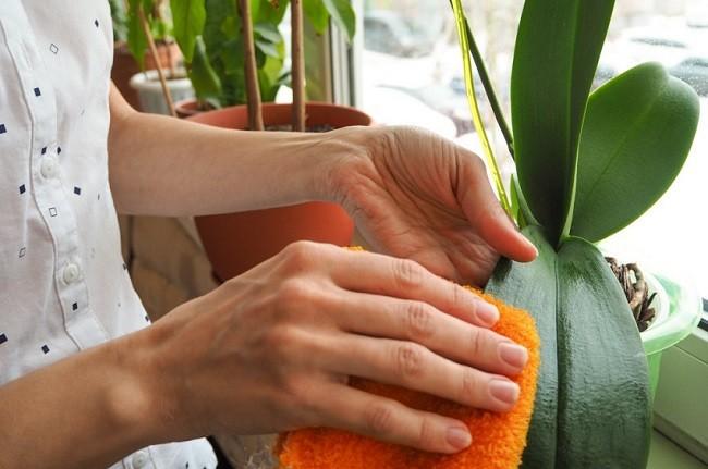 Протирание листьев фаленопсиса