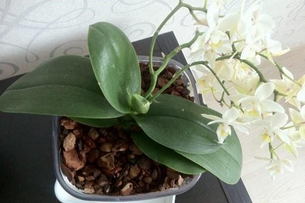 Здоровые листья орхидеи