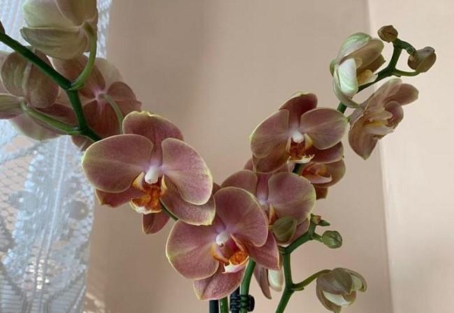 Два цветоноса орхидеи Брион