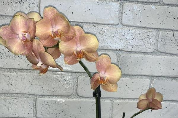 Цветоносы орхидеи Брион