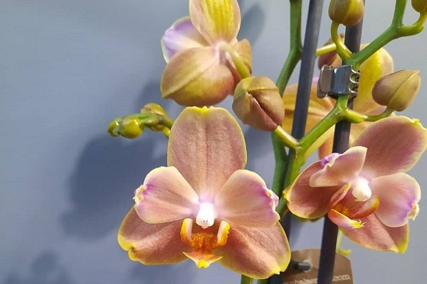 Орхидея Брион бабулетка