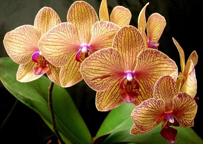 Орхидея Калейдоскоп
