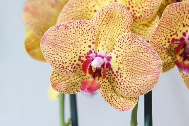 Расцветка орхидеи Чармер