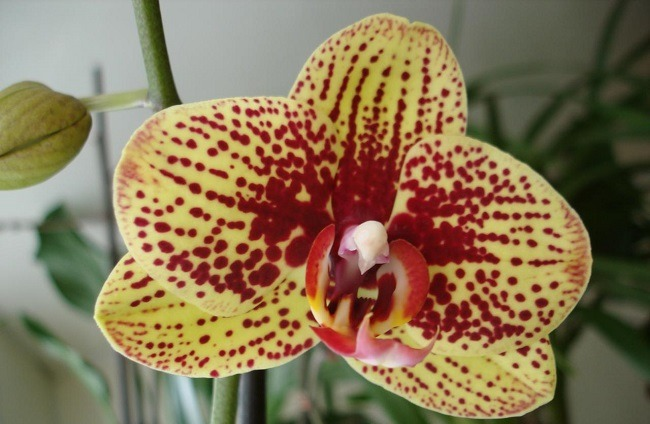 Орхидея Карин Алоха