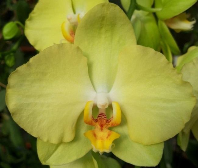 Орхидея Феррара фото