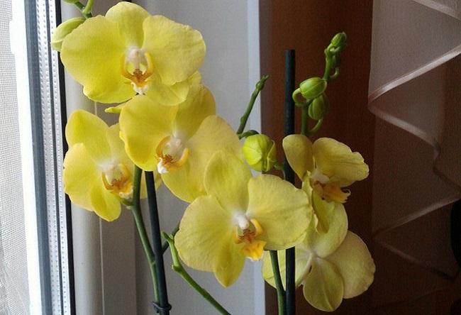 Фаленопсис желтые Феррара около окна