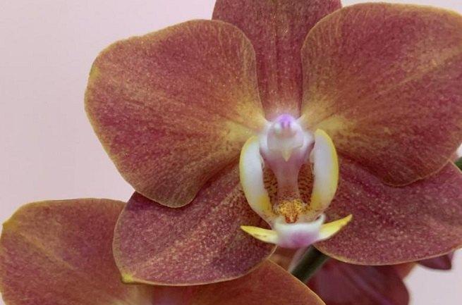 Орхидея Горизонт