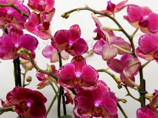 Орхидея Интрига фото цветоносов с цветами