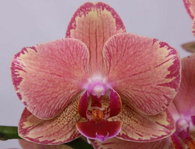 Орхидея Пират Пикоти