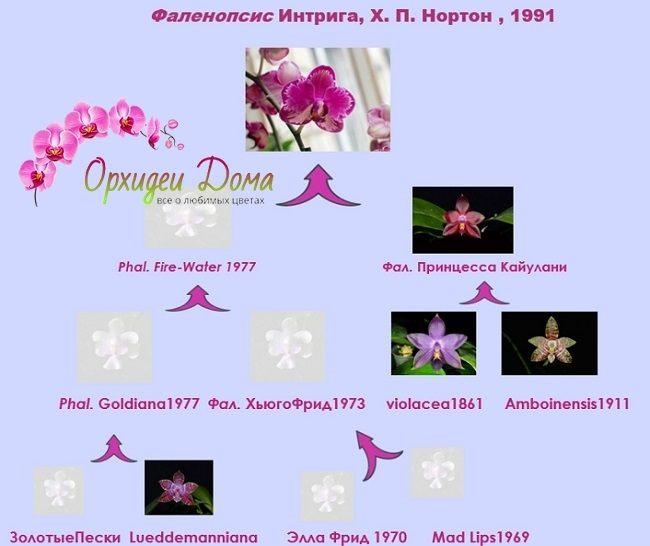 Родословная орхидеи Интрига