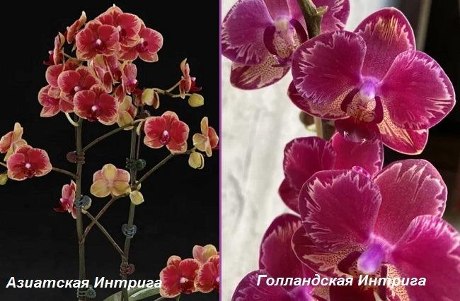 Орхидея Интрига: азиатская и голландская