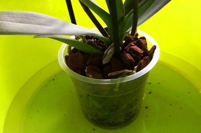 Полив орхидеи погружением в воду