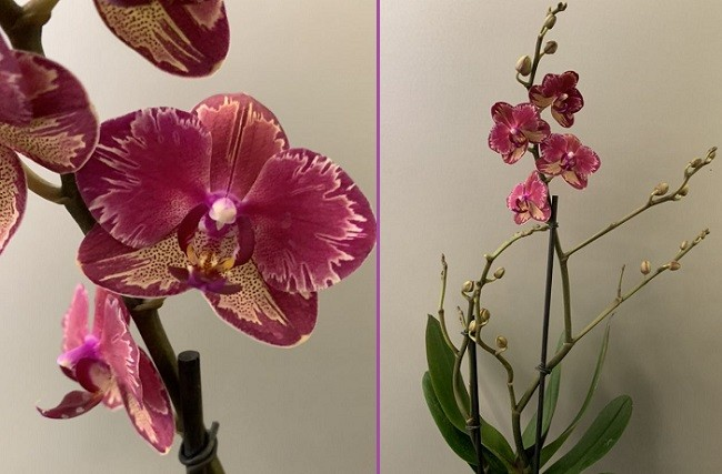 Цветение фаленопсиса Интрига