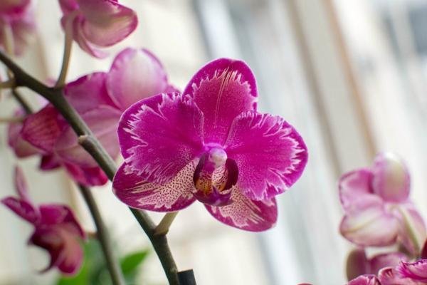 Орхидея голландская интрига