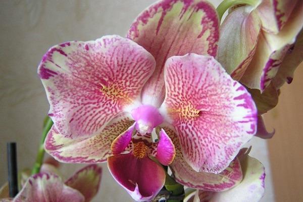 Орхидея Пират Пикоти бабочка