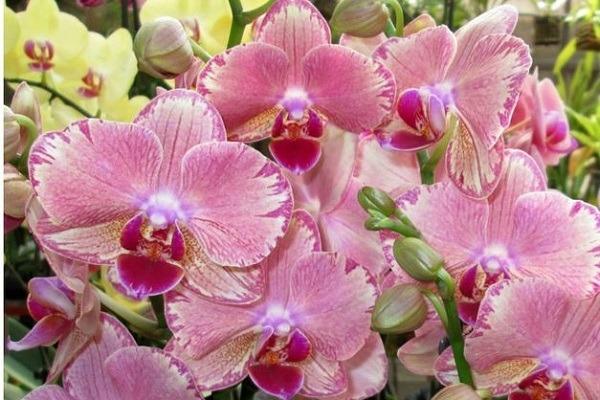 Орхидея Пикотти на улице