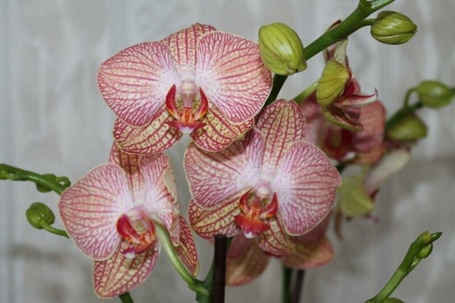 Фаленопсис Равелло домашнее цветение