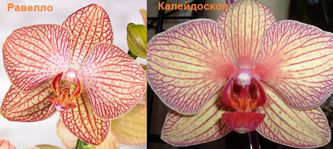Сравнение орхидеи Равелло и Калейдоскоп