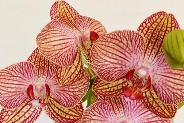 Яркий венозный узор орхидеи