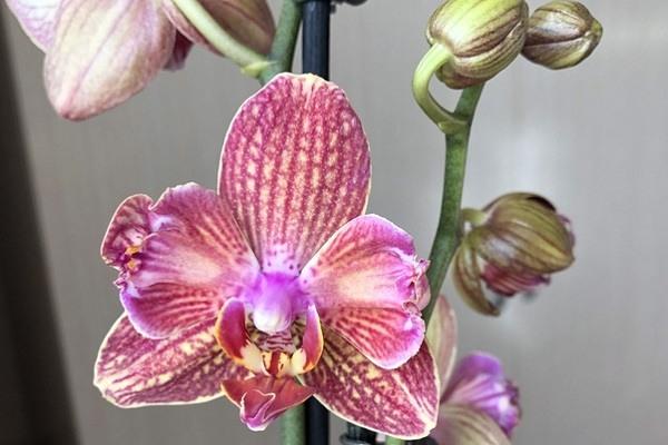Орхидея Равелло бабулетка