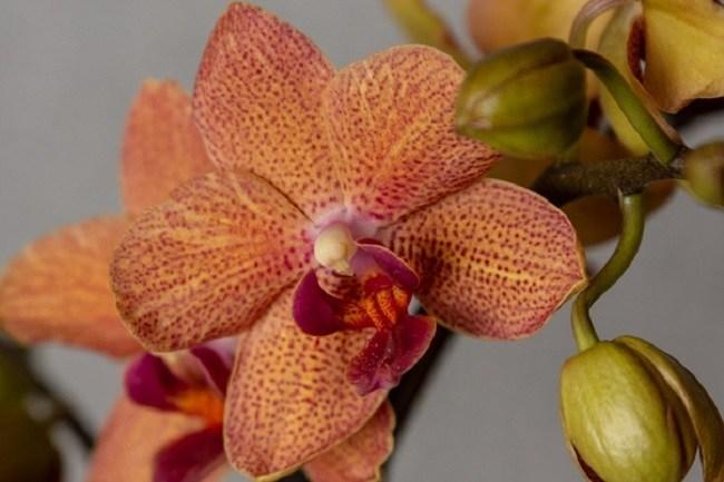 Орхидея Сансет Лав