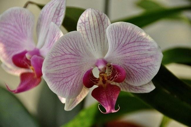 Орхидея Шанхай фото цветка