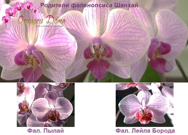Видовой состав фаленопсиса Шанхай