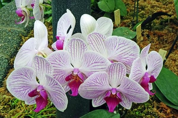 Орхидея Шанхай в парке