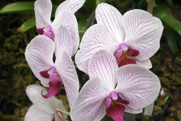 Цветение фаленопсиса Шанхай