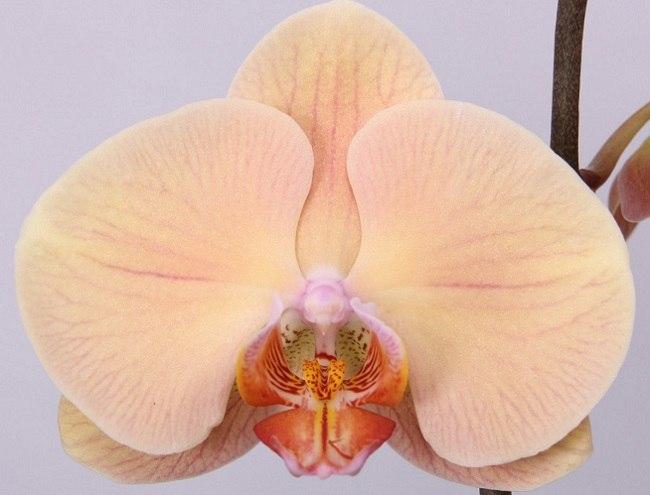 Phalaenopsis Lady Marmelade