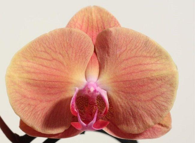 Phalaenopsis Volcano